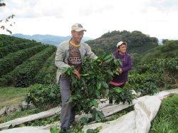 画像2: ブラジル イビポラ農園